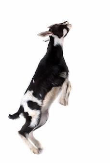 Sucking black and white goat