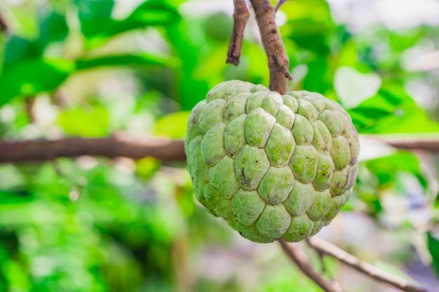Сахарное яблоко или заварной крем