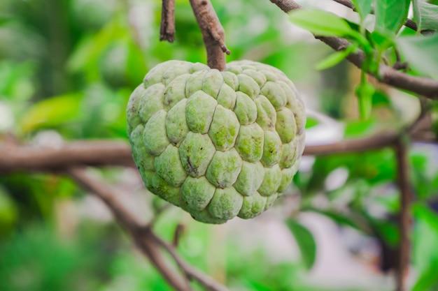 Сахарное яблоко или заварное яблоко