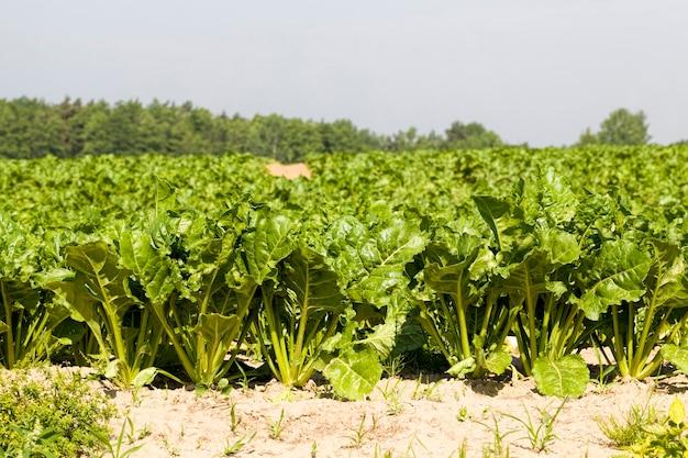 Выращивание сахарной свеклы