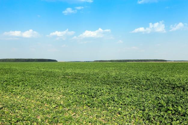 가뭄에 시들었던 사탕무 새싹