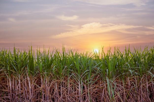 Sugar cane farm, green sugar plant at sunset