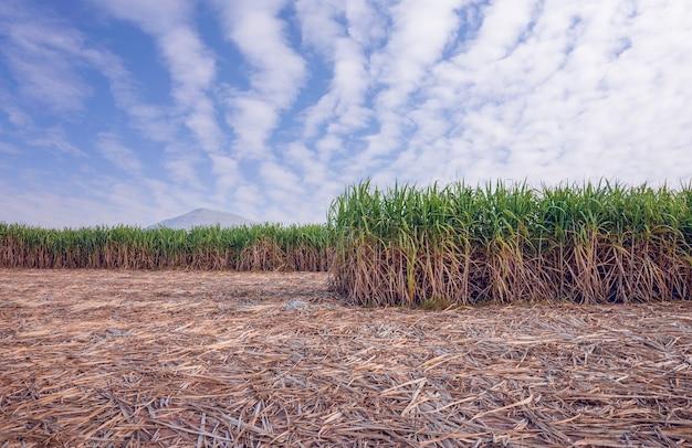 Sugar cane farm with cloudy sky