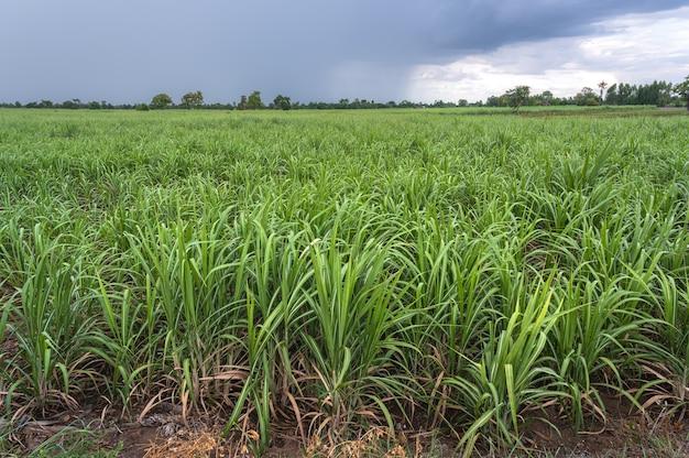雨上がりのサトウキビ畑