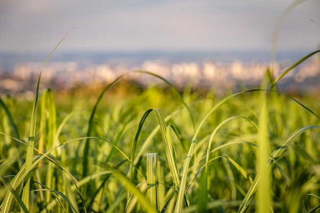 Sugar cane field with ribeirao preto city at backgrund in sunset.