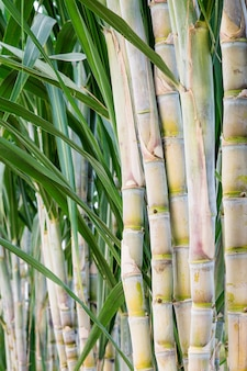 Sugar cane in the garden for consumption.