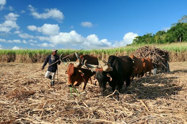 ドミニカ共和国でのサトウキビ収穫。ハイチの運転手は、水牛によって描かれたカートである刺激でスティックを運転します。農業イメージ。ドミニカ共和国