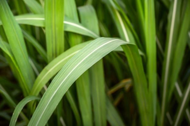 サトウキビの葉