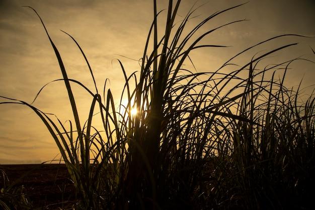 日没時のサトウキビ農園。