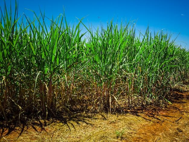 ブラジルのサトウキビ農園。