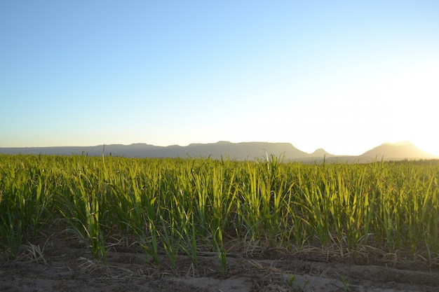 Sugar cane plantation at sunrise