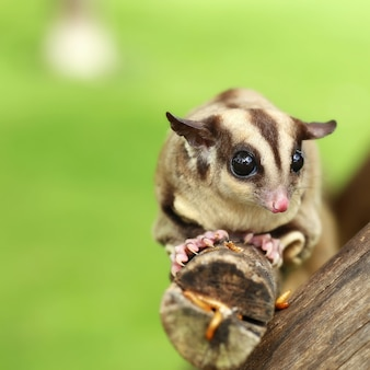 Sugar-glider climb on the tree with mealworm