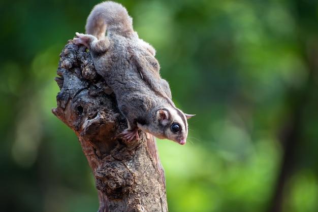 Sugar glider petaurus breviceps on tree branch