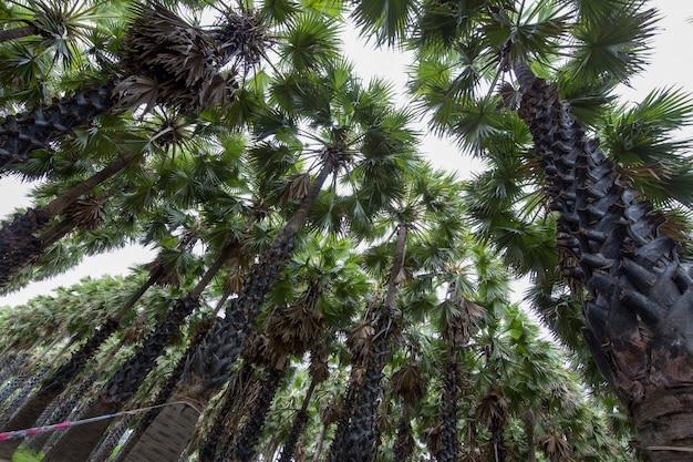 Sugar palm in the garden, phetchaburi province thailand