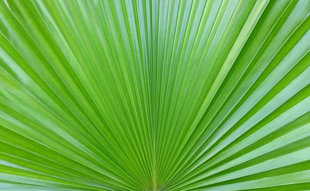 Sugar palm leaf background