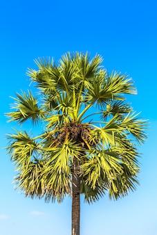 Sugar palm tree on blue sky