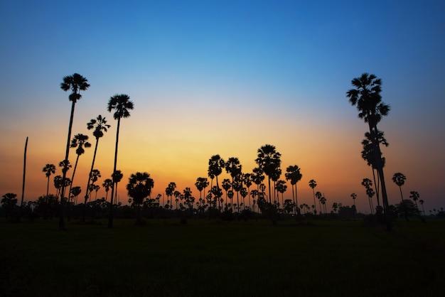 日没の背景にシュガーヤシの木