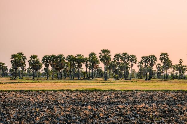 Sugar palm tree on rice fields