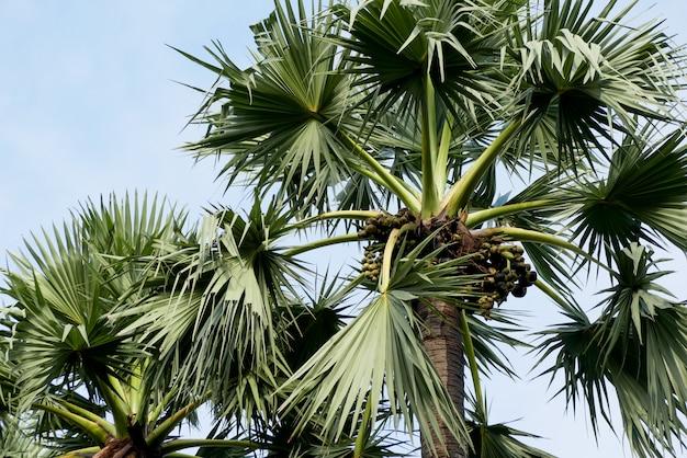 Sugar palm tree on sky beautiful tropical background