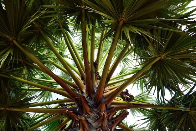 Sugar palm tree on white background
