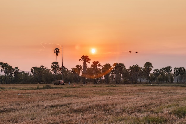 Sugar palm tree with drought rice fields in evening