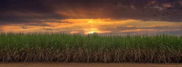 日没時のサトウキビ畑。サトウキビはイネ科の草です。甘くて健康に良い味です。