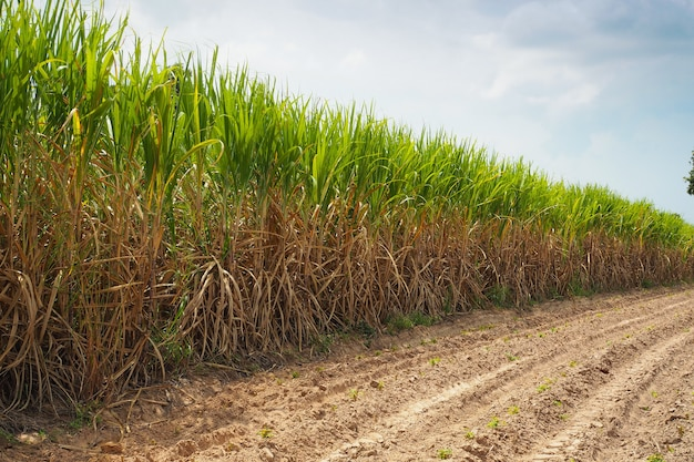 Sugarcane field in blue sky and white cloud in farm