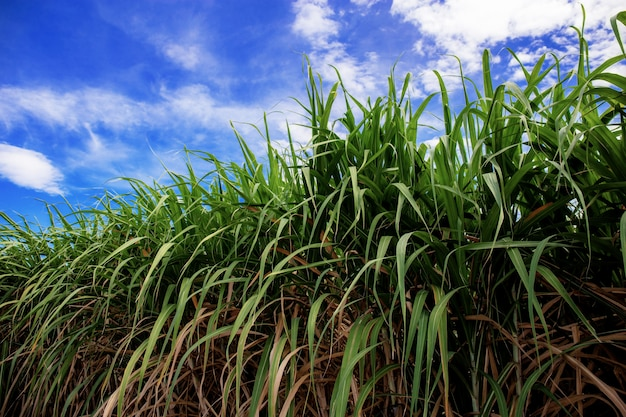 Sugarcane on field at blue sky.