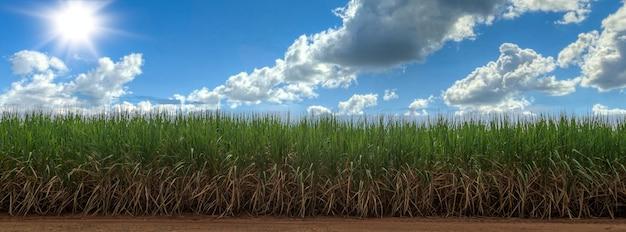 青い空とサトウキビ畑。サトウキビはイネ科の草です。甘くて健康に良い味です。