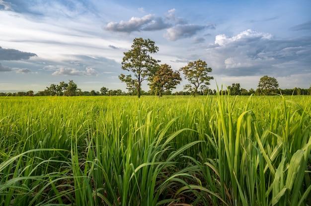 青い空とサトウキビ畑。
