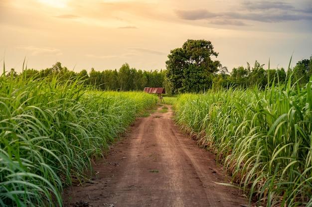 夕焼け空のサトウキビ畑。