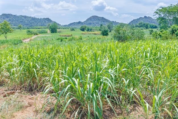 Sugarcane fields mountains