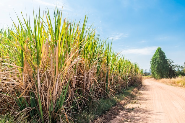 Sugarcane fields, sky and gravel roads