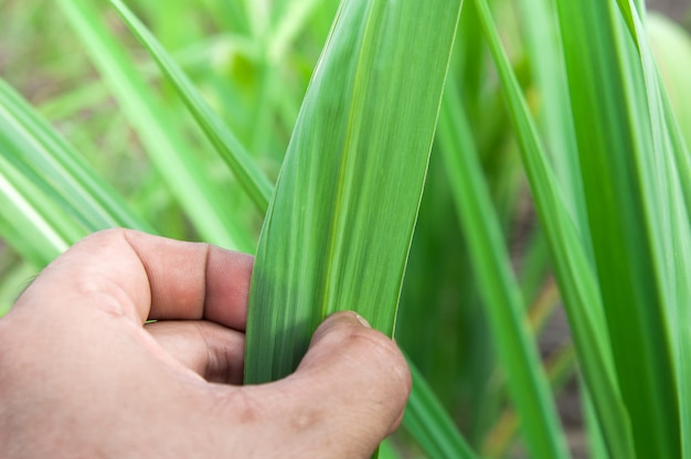Sugarcane leaf with hand