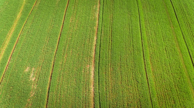 Sugarcane plantation field aerial view with sun light. agricultural industrial.