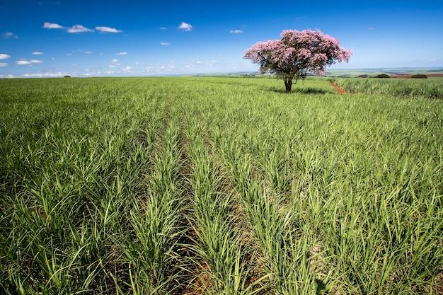 晴れた日のサトウキビ農園。農業。