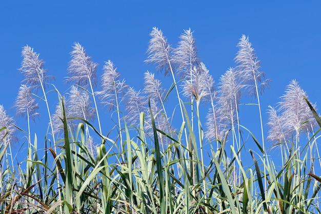 Растения сахарного тростника в цвету