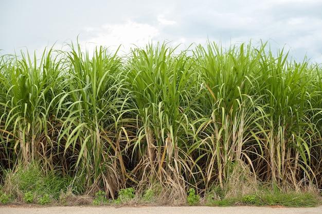 농장에서 설탕 산업의 사탕수수 생산