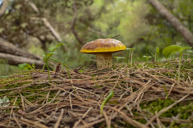 Suillus collinitus pine bolete菌