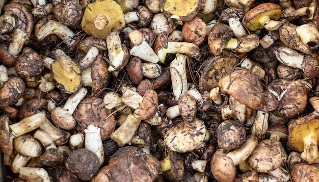 Гриб боровик suillus. осенние белые грибы весенний подосиновик подробно. приготовление вкусных органических грибных продуктов. понятие о веганстве, веганстве.