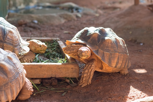Sulcata tortoise, african spurred tortoise (geochelone sulcata) is one of the largest species of tortoise in the world.