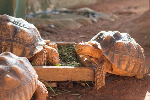 Sulcata tortoise, african spurred tortoise (geochelone sulcata)