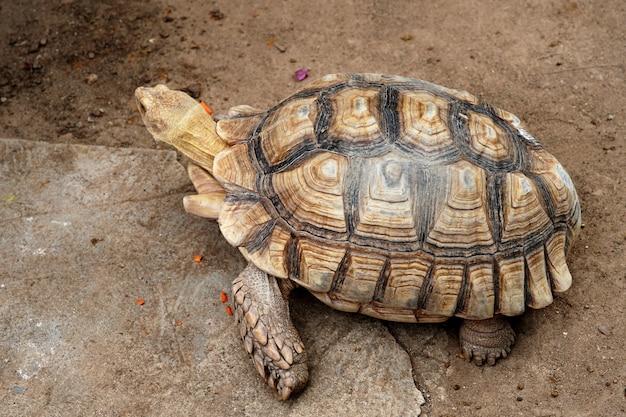 Sulcata tortoise geochelone sulcata in the animals farm