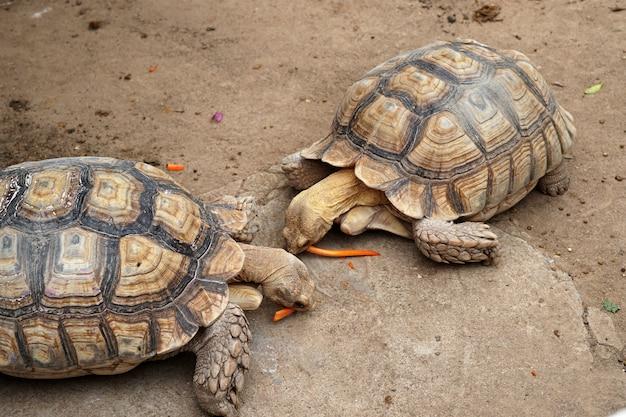 동물 농장에서 얇게 썬 당근을 먹고 있는 설카타 거북이 geochelone sulcata