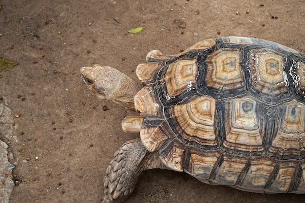 Sulcata черепаха geochelone sulcata на животноводческой ферме