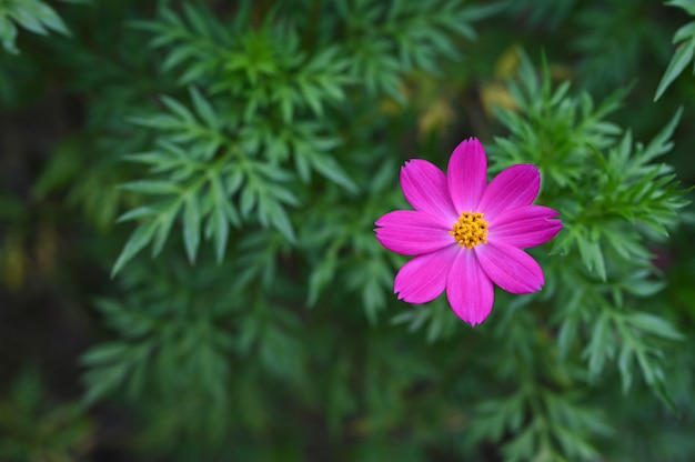 Sulfur cosmos flower with blur of leaves