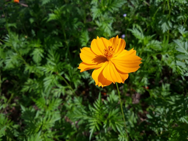 A sulfur cosmos or yellow cosmos flower in full bloom with its green leaves in the garden