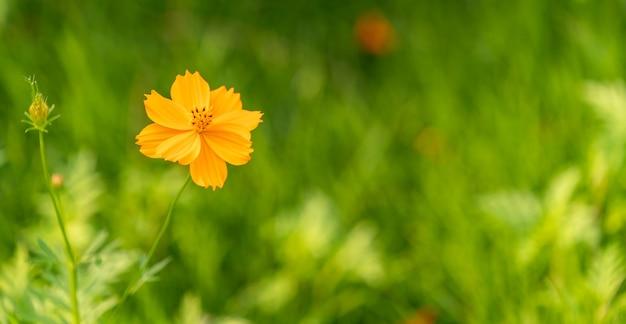 硫黄コスモス、庭の緑の葉の背景に黄色いコスモスの花。