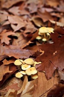 森の中のニガクリタケ(hypholoma fasciculare)