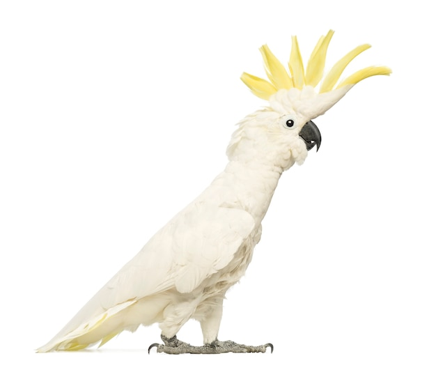 Sulphur-crested cockatoo, cacatua galerita, 30 years old, with crest up in front of white space